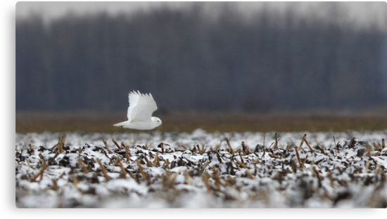 Ghost - Snowy Owl by Jim Cumming