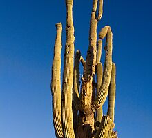 Giant Saguaro Cactus Portrait With Blue Sky by Bo Insogna