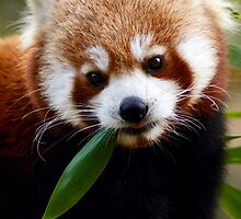 Red Panda by hannahelizabeth