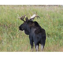 Bull Moose in Colorado Photographic Print