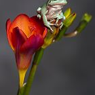 Whites tree frog on freesia by AngiNelson