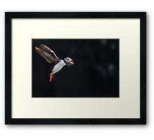 Atlantic Puffin in flight, Skomer Island Framed Print