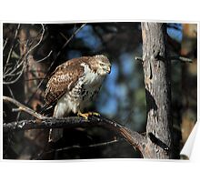 After Dinner  / Juvenile Red Tailed Hawk Poster