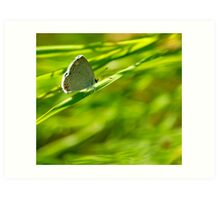 Acadian Hairstreak Art Print