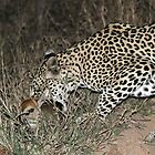 Leopard/duiker interaction 3(Gotcha !) by jozi1