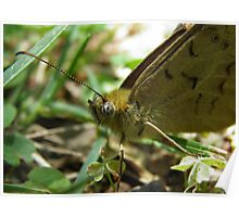 Male Common Brown Butterfly (Heteronympha merope) - Kensington Gardens, South Australia Poster
