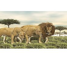 African Lions Photographic Print