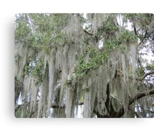 Stunning Spanish Moss Canvas Print