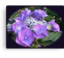 Beautiful Blue Blossom - Lace Cap Hydrangea Canvas Print