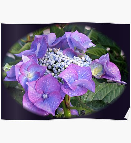 Beautiful Blue Blossom - Lace Cap Hydrangea Poster