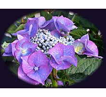 Beautiful Blue Blossom - Lace Cap Hydrangea Photographic Print