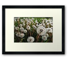 Middle of Summer. White dandelions Framed Print