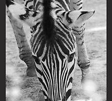 Zebra Munching by Emma Holmes
