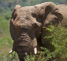 African Elephant by Will Hore-Lacy