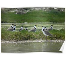 Masked Lapwings (Vanellus miles) - Coffin Bay, South Australia Poster