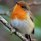 Robin Red Breast by Anthony Thomas