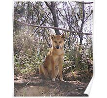 Frazer Dingo Poster