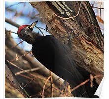 Black woodpecker Poster