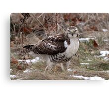 Grounded / Red Tail Hawk Canvas Print