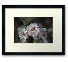 Soft White Crabapple Flowers  Framed Print
