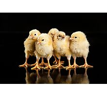 Little Yellow Chickens Photographic Print
