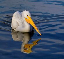 American White Pelican by John Absher