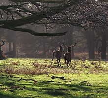 Red Deer in the Woods by John Dunbar