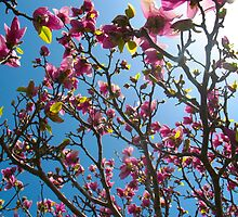Marvellous Magnolia blossoms by MarianBendeth
