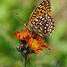 Summer Butterfly by SAJONES