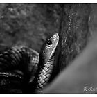 Tiger snake in b/w by bluetaipan