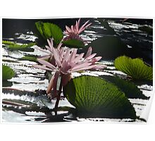Water Lillies - Broome, Western Australia Poster