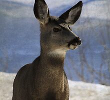 Female Mule Deer by Alyce Taylor