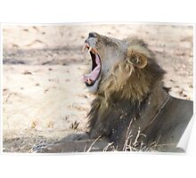 Lions Yawn Poster
