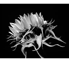 Sunflower No. 5 Photographic Print