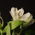 White Flower Trio Closeup by Colin Bentham