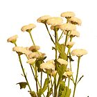 White Mini Chrysanthanum by Colin Bentham