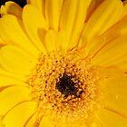 Yellow Flower Closeup by Colin Bentham