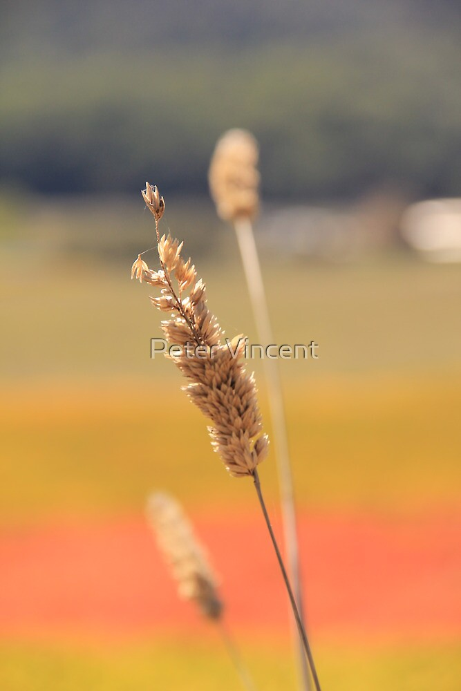 Wheat in the Autumn Vineyard by Peter Vincent