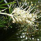White Grevillea by simonescott