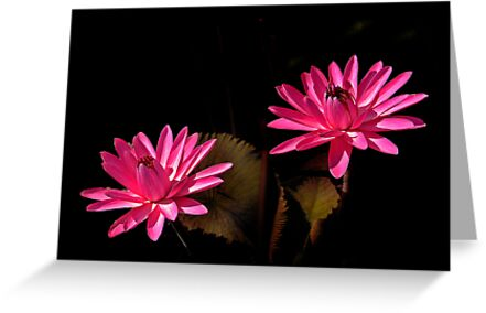 Two Red Waterlilies by cclaude