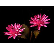 Two Red Waterlilies Photographic Print