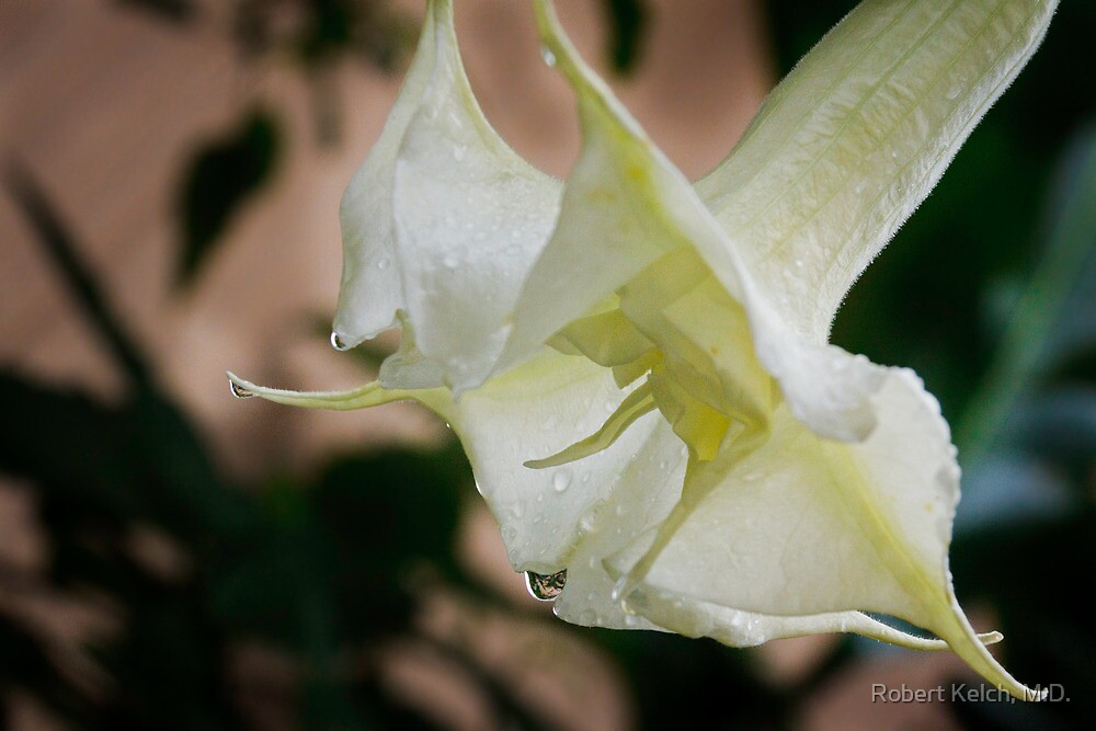 Devil's or Angel's Trumpet in Costa Rica by Robert Kelch, M.D.