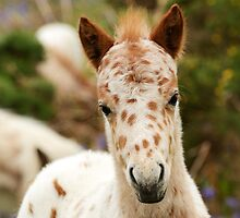 Spotted Pony Foal by jonshort58