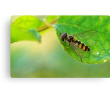 insect on rose bush Canvas Print