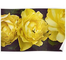 The Colour Yellow - Roses Poster