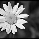BW Daisy by apsjphotography
