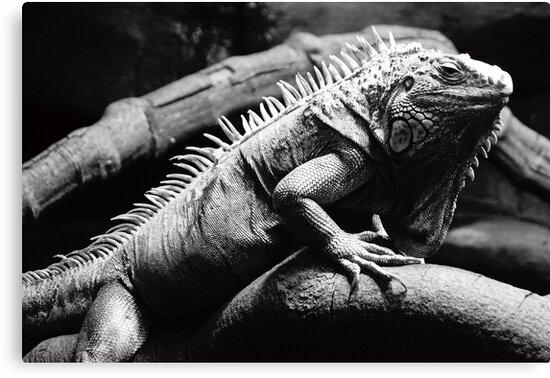 Dark iguana by MacLeod