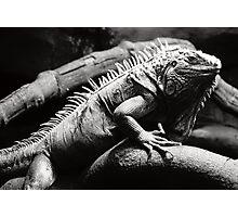 Dark iguana Photographic Print