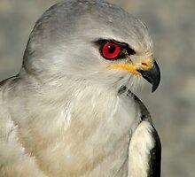 Black Shouldered Kite by Macky
