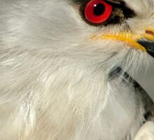 Black Shouldered Kite Sticker